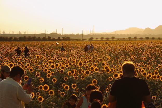 夕日に輝く笠岡ベイファームのひまわり畑05