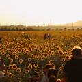 写真: 夕日に輝く笠岡ベイファームのひまわり畑05
