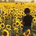 写真: 夕日に輝く笠岡ベイファームのひまわり畑02
