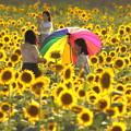 写真: 夕日に輝く笠岡ベイファームのひまわり畑01