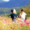 2018 笠岡ベイファームの秋桜07