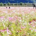 2018 笠岡ベイファームの秋桜01