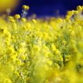 笠岡ベイファーム 菜の花畑06