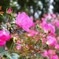 Photos: バラが咲いた
