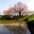Photos: 浅井の一本桜