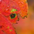 写真: 柿の葉