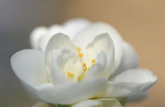 写真: 真っ白に咲くボケ