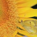 写真: ヒマワリの蜜