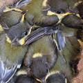 巣箱の雛たち