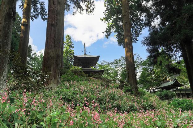 シュウカイドウ咲く岩湧寺 2