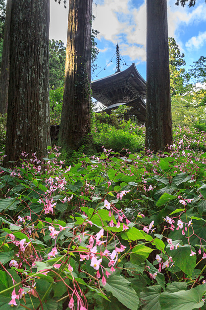 シュウカイドウ咲く岩湧寺 1