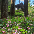 Photos: シュウカイドウ咲く岩湧寺 1