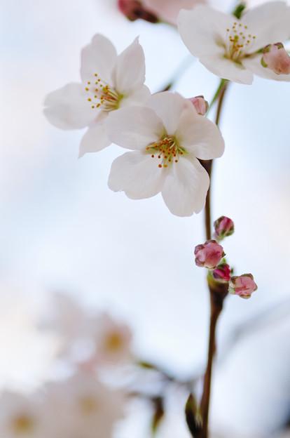 さくら咲く file-014