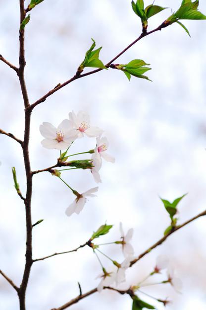 さくら咲く file-015