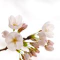 さくら咲く file-016