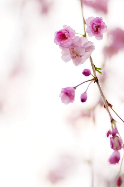さくら咲く file-017
