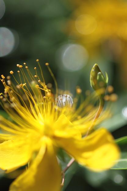 我が家の花(ビヨウヤナギ)