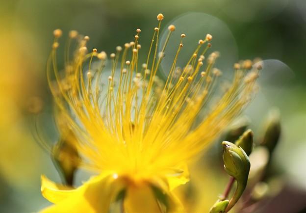 我が家の花(ビヨウヤナギ横位置)