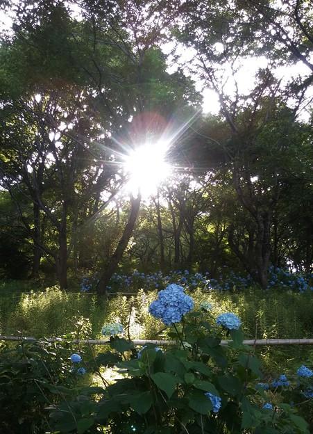 夕日に光るアジサイ