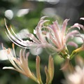我が家の花(ヒガンバナ)