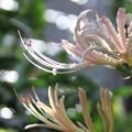 我が家の花(ヒガンバナ縦位置で・・)