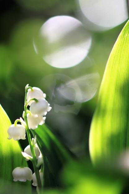 我が家の花(スズラン)