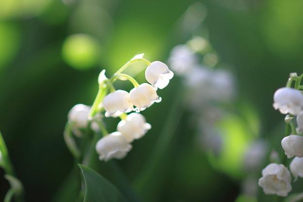 我が家の花(スズラン横位置で)