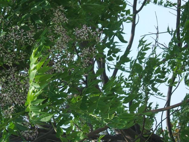 センダンの木 与次郎 鹿児島市