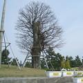 アコウの木 マリンポートかごしま 20110327