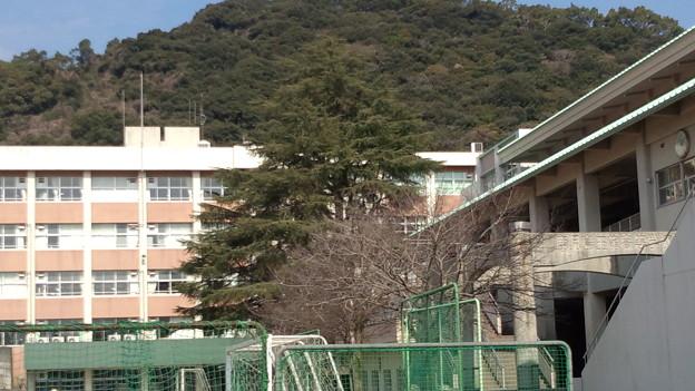 ヒマラヤスギ 玉龍高校 鹿児島市