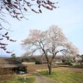 写真: 時庭ときわの一本桜