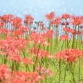 写真: 水辺の彼岸花