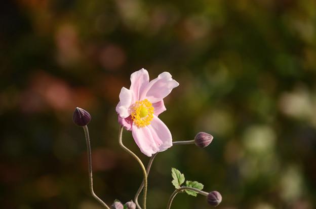 写真: シュウメイ菊