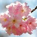 ひと房の桜