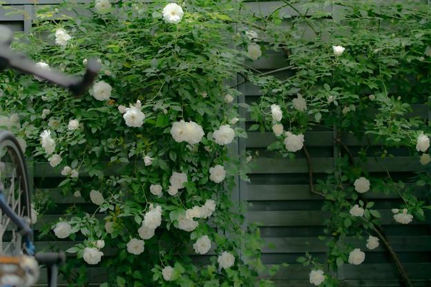 Photos: 白バラ