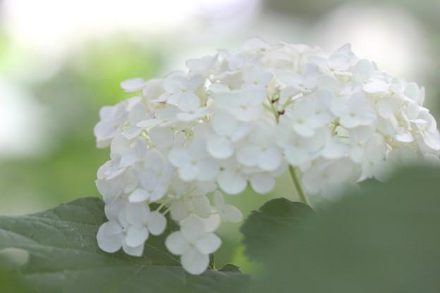 写真: 白いアナベル