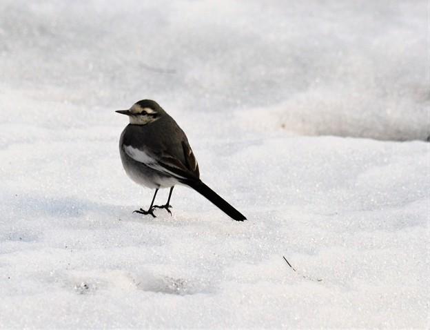 Photos: 雪の上を散策するセキレイ~