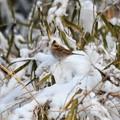 写真: 雪の上にミヤマホオジロさんが~