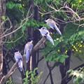 写真: オナガの群れ~