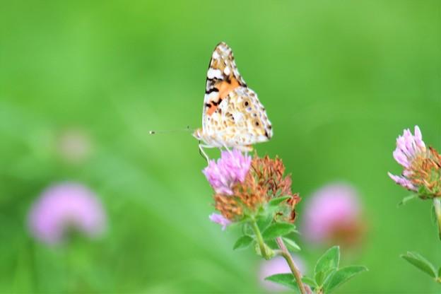 写真: チョウさんも多くなってきました。