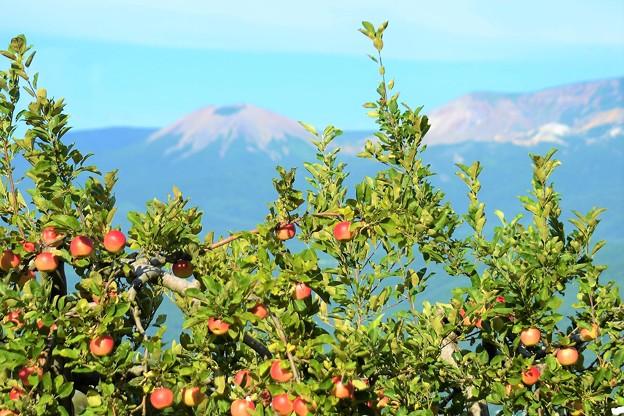 リンゴも色づき秋ですね~
