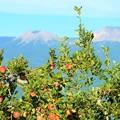 写真: リンゴも色づき秋ですね~
