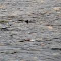 写真: 鮭の遡上~