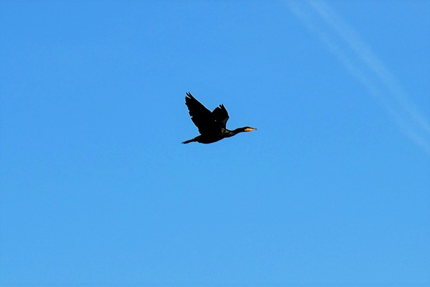 カワウの飛翔!