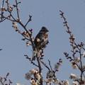 写真: 梅の花にカシラダカさん