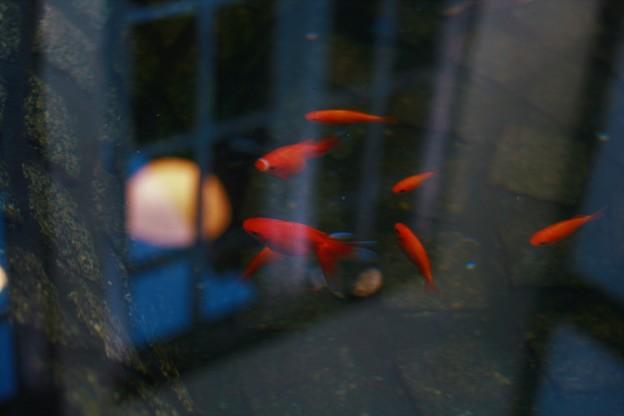 窓を覗く金魚