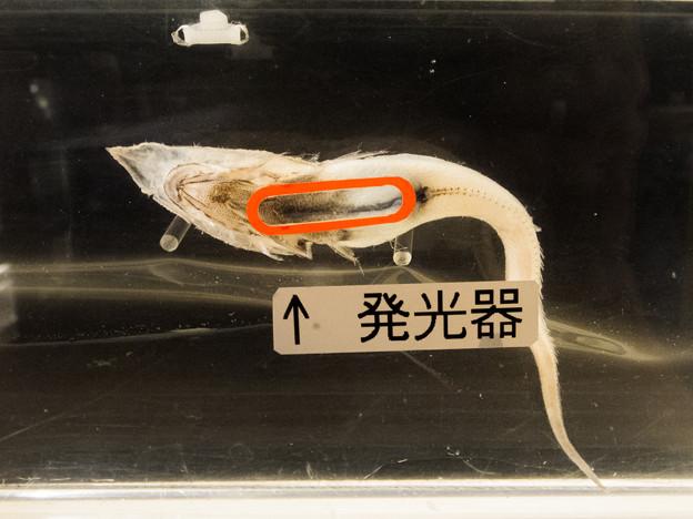 写真: イチモンジヒゲの発光器
