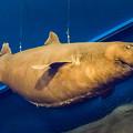 写真: ヨロイザメの剥製