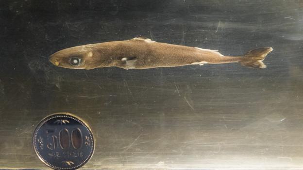 ツラナガコビトザメの標本