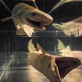 写真: ラブカの標本